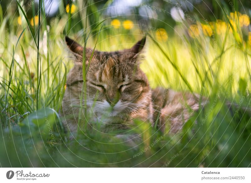 A little more sleep Nature Plant Animal Summer Beautiful weather Flower Grass Leaf Blossom Marsh marigold Meadow Cat 1 Lie Sleep Brown Yellow Green Contentment