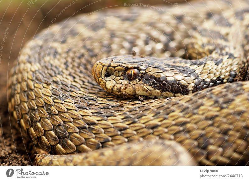 close up of female orsinii viper Beautiful Woman Adults Nature Animal Meadow Snake Wild Brown Dangerous Colour vipera Viper ader rakosiensis Reptiles Romania