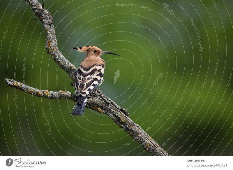 The Hoopoe Nature Animal Spring Summer Heathland Wild animal Bird Wing Claw 1 Sit Exceptional Brown Green Black White Colour photo Exterior shot