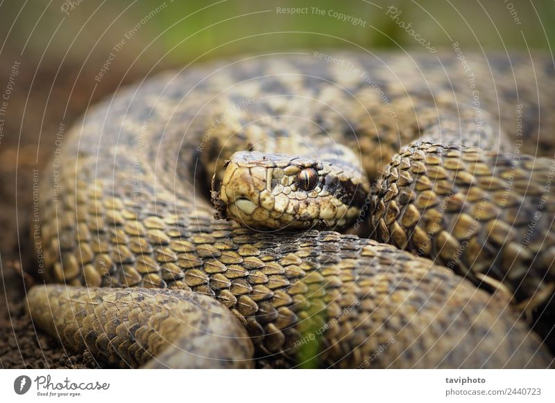 close up of Vipera ursinii rakosiensis Beautiful Nature Animal Meadow Snake Wild Brown Fear Dangerous venomous European vipera wildlife adder poison herpetology