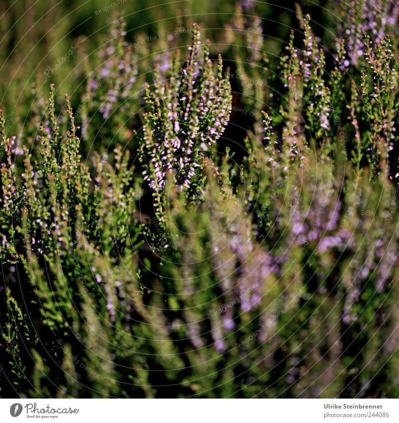 Black Forest Erika Nature Plant Sunlight Summer Beautiful weather Bushes Leaf Blossom Wild plant Mountain heather Heather family Breathe Blossoming Stand Growth