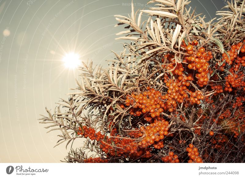 sea buckthorn Environment Nature Landscape Plant Cloudless sky Sun Sunlight Bushes Coast Glittering Illuminate Hot Natural Thorny Joy Happy Happiness