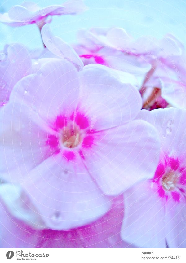 flowers Blossom Plant Pink White Spring Nature flox