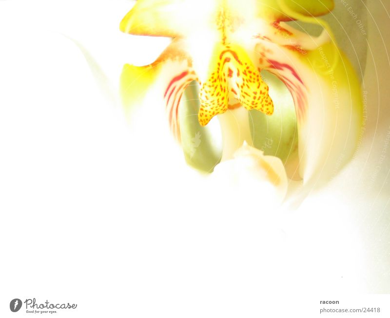 White Red Yellow Blossom Bright Orchid Flashy Pistil