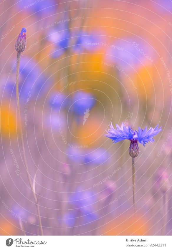Cornflowers in the field - nature and flowers Design Harmonious Well-being Contentment Relaxation Calm Meditation Spa Decoration Wallpaper Feasts & Celebrations