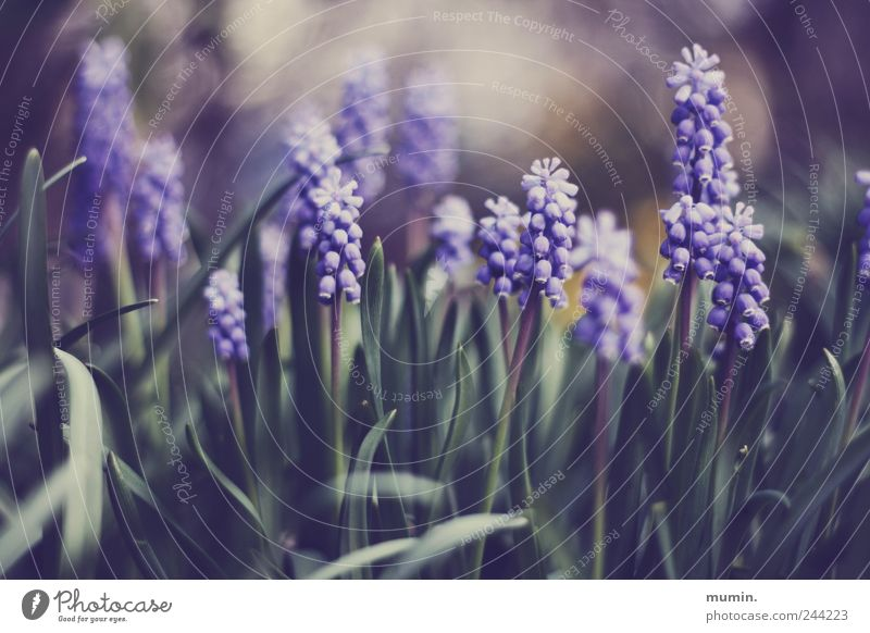 Nature Green Plant Garden Violet Muscari