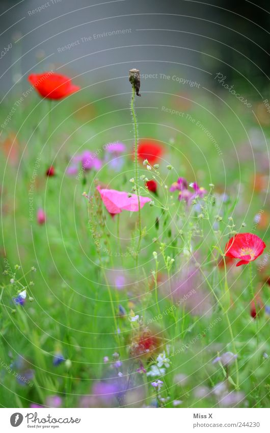 Withered Nature Plant Summer Flower Grass Leaf Blossom Garden Meadow Fragrance Faded Growth Multicoloured Poppy Poppy blossom Flower meadow Meadow flower