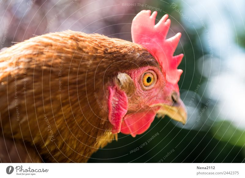 Zero-fifteen. Chicken. Animal Animal face Zoo Petting zoo 1 Crouch Looking Aggression Funny Red Farm animal Barn fowl Forward Crest Egg Organic produce