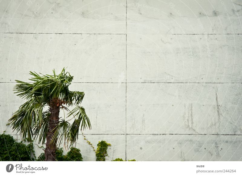 Palma de platta Vacation & Travel Environment Plant Climate Exotic Wall (barrier) Wall (building) Facade Concrete Sadness Growth Simple Gloomy Dry Gray Green