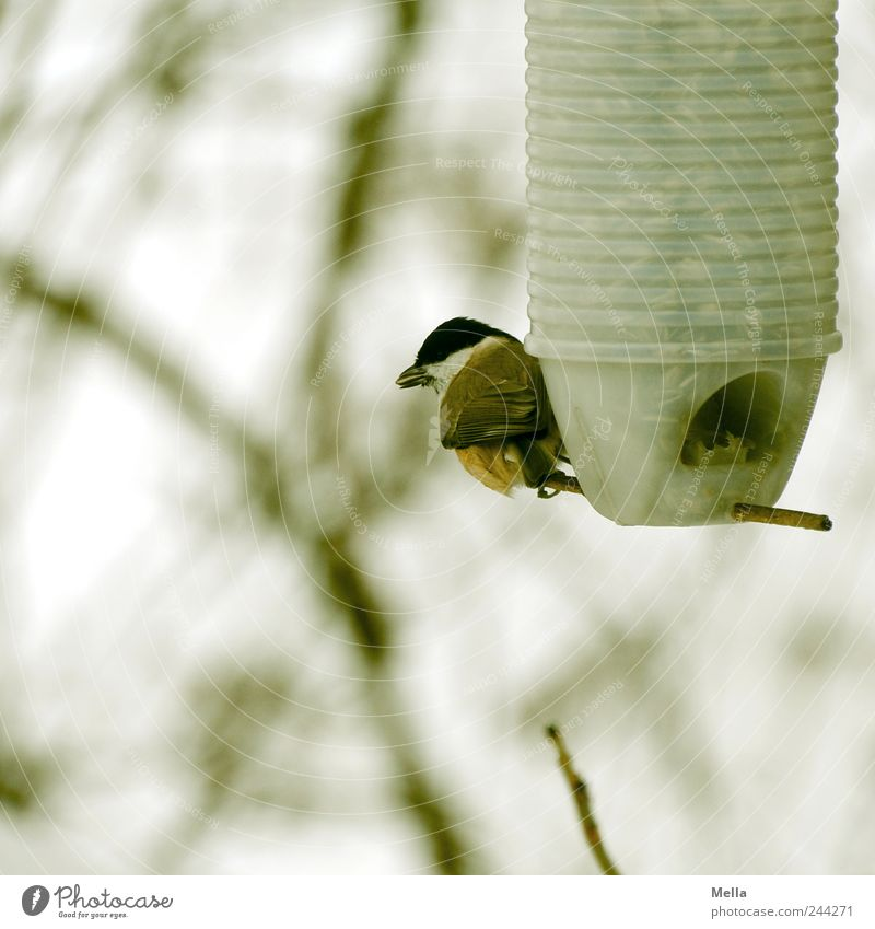 stockpiling Environment Nature Animal Branch Twigs and branches Bird Tit mouse 1 To feed Crouch Sit Small Natural Cute Sustainability Survive Feeding area