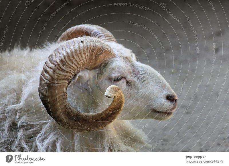 Vacation & Travel Animal Animal face Pelt Zoo Serene Farm Sheep Antlers Farm animal Petting zoo
