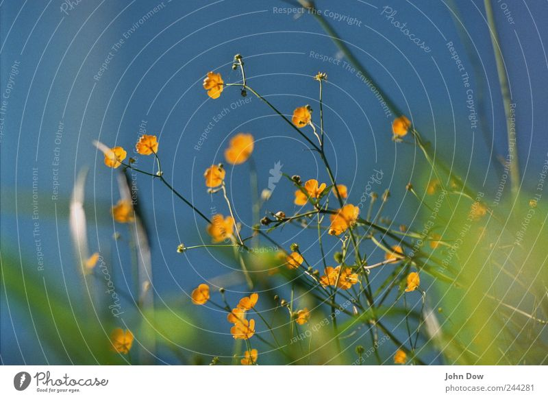 floret wallpaper Sky Cloudless sky Plant Flower Grass Park Meadow Growth Blue Yellow Green Spring fever Transience Blossom Leaf Blossoming Flower stem