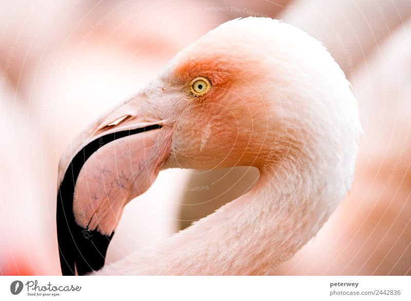 Portait of a flamingo (lat. Phoenicopteridae), captive Zoo Nature Animal Flamingo 1 Pink Background picture beak beautiful beauty bird bright color colorful