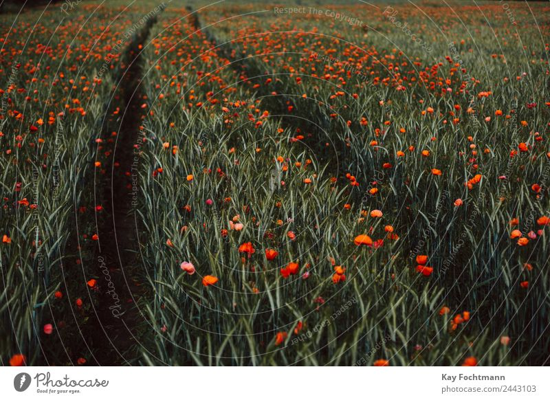 Field full of poppies Trip Summer Summer vacation Nature Landscape Plant Beautiful weather Warmth Flower Poppy blossom Corn poppy Discover Relaxation