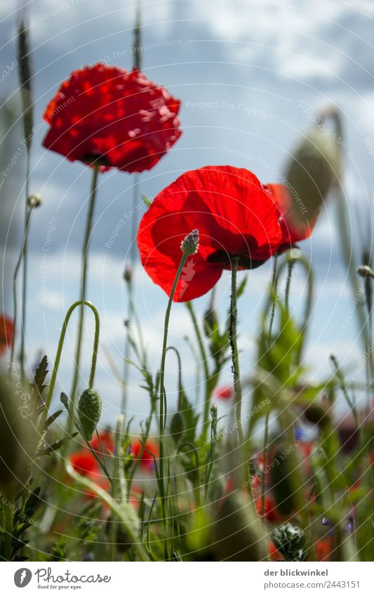 Poppy! Nature Plant Grass Poppy blossom Touch Free Fresh Happy Happiness poppy flower Meadow country Colour photo Exterior shot Detail Day Worm's-eye view
