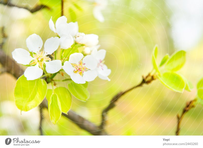 Blossom pear tree with white flowers Beautiful Garden Environment Nature Spring Tree Flower Leaf Bright Natural New Soft Blue Yellow Green White Colour
