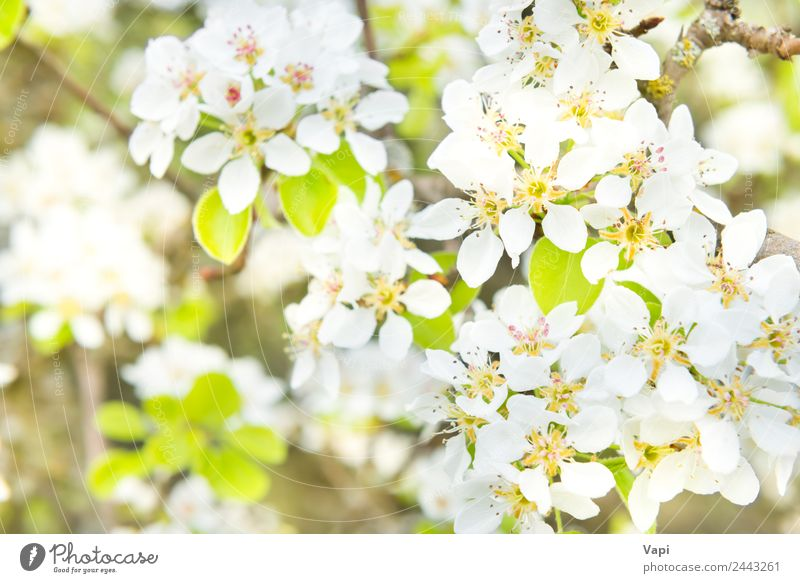 Blossom pear tree in white flowers Beautiful Garden Environment Nature Spring Tree Flower Leaf Bright Natural New Soft Blue Yellow Green White Colour background