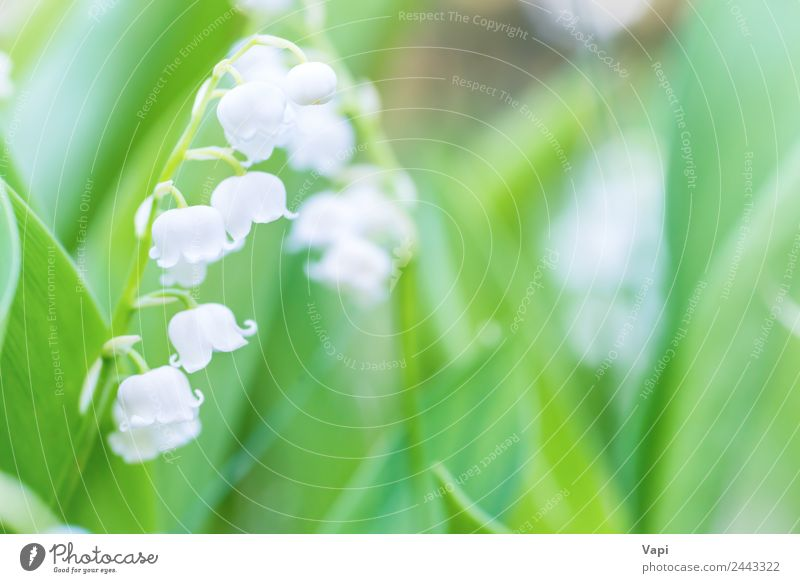 Wild white flowers lily of the valley Beautiful Fragrance Sun Garden Environment Nature Landscape Plant Sunlight Spring Summer Flower Grass Leaf Blossom Meadow