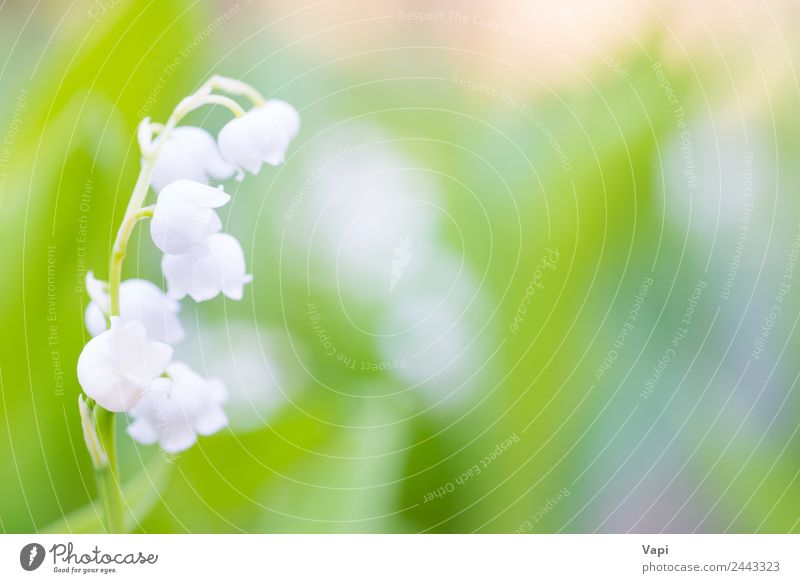 Wild white flowers lily of the valley Beautiful Fragrance Sun Garden Nature Plant Air Sunlight Spring Summer Beautiful weather Flower Leaf Blossom Wild plant