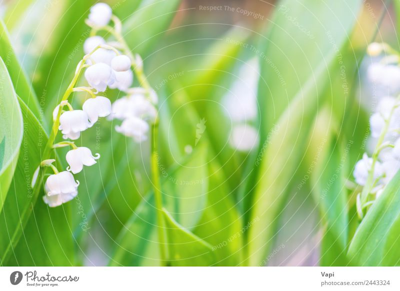 Wild white flowers lily of the valley Beautiful Fragrance Garden Environment Nature Plant Sunlight Spring Summer Flower Leaf Blossom Wild plant Meadow Field
