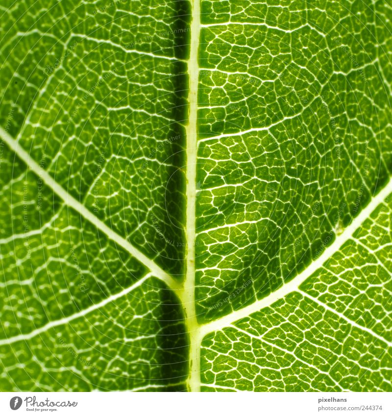 Nature Plant Leaf Network Interlaced Section of image Foliage plant Rachis Photosynthesis Reticular Vine leaf