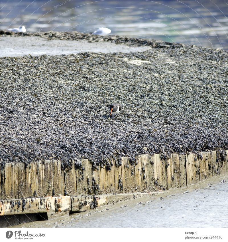 Oystercatcher Nature Water Beach Ocean Animal Coast Bird Walking Wing Wild North Sea Beak Mud Maritime Shell Flood