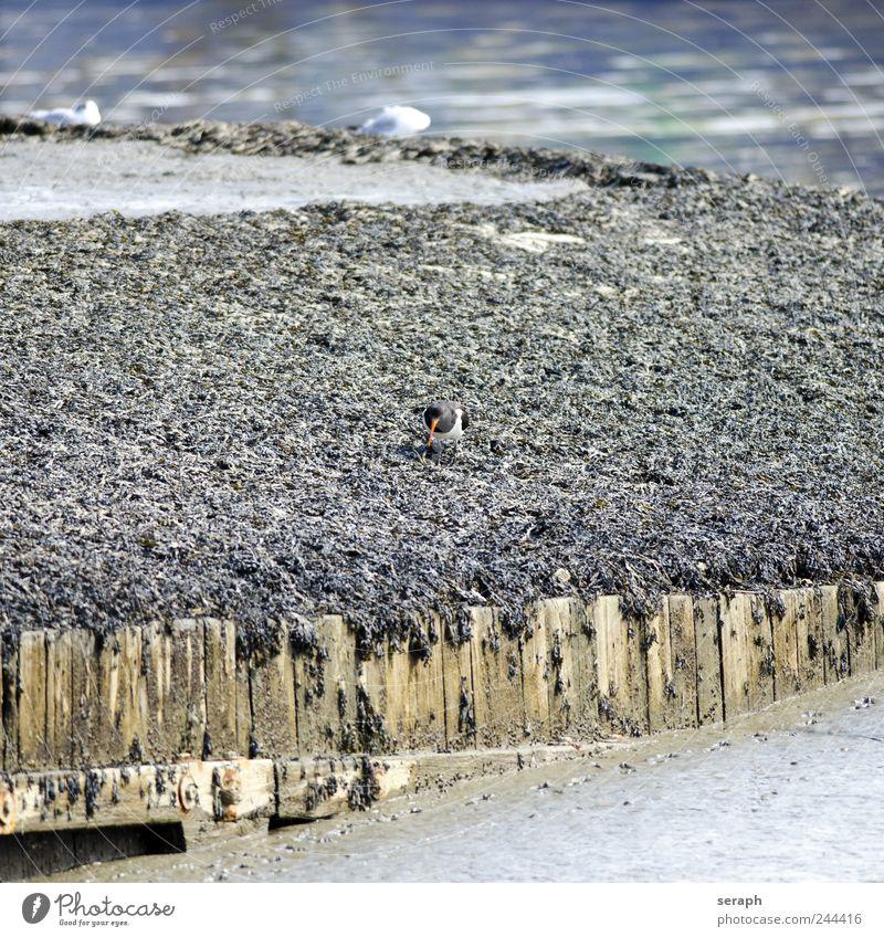 Oystercatcher Ocean Shell Wing Water Oyster catcher Beak Bird North Sea ebb Flood Mud Worms Beach Walking Native Maritime Marine animal Nature ostralegus fauna