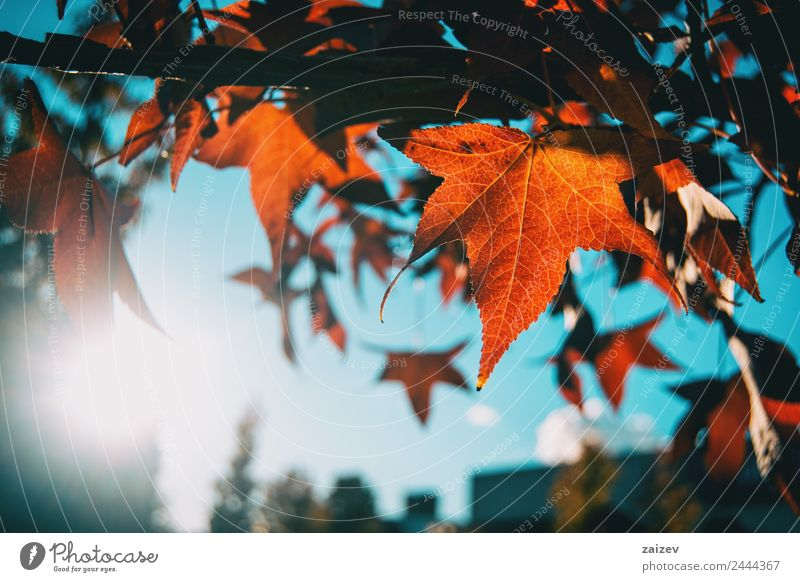 Red acer leaves in autumn Beautiful Sun Winter Mountain Garden Environment Nature Plant Sky Autumn Tree Leaf Foliage plant Agricultural crop Wild plant Park