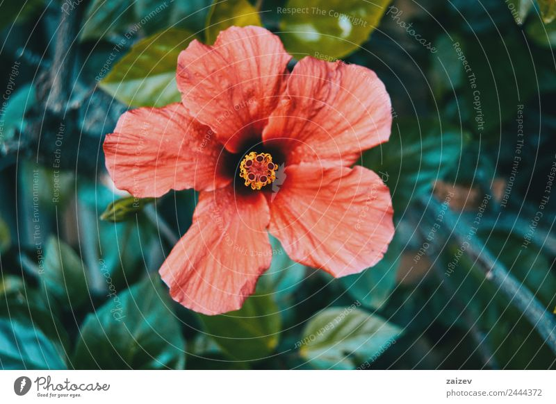 big and red hibiscus flower Beautiful Summer Garden Environment Nature Plant Flower Bushes Leaf Blossom Foliage plant Wild plant Park Meadow Field Forest