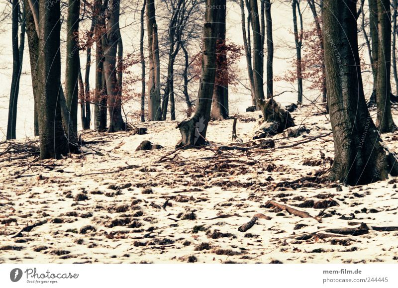 winter forest Forest Winter Snow Beech tree Mixed forest Hill Brown White Tree trunk Firewood Woodground