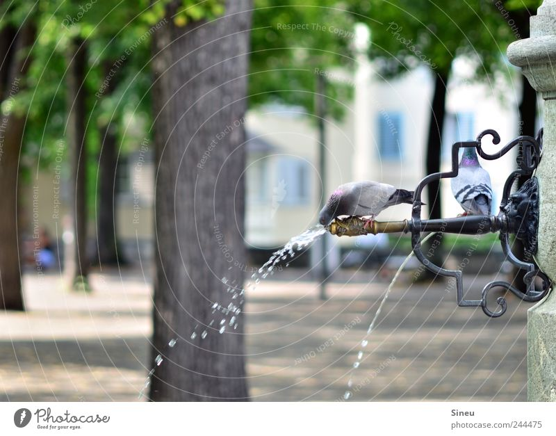 Water Tree Summer Animal Park Drops of water Sit Drinking Swimming & Bathing Well Hot Tree trunk Pigeon Refreshment Thirst Beautiful weather