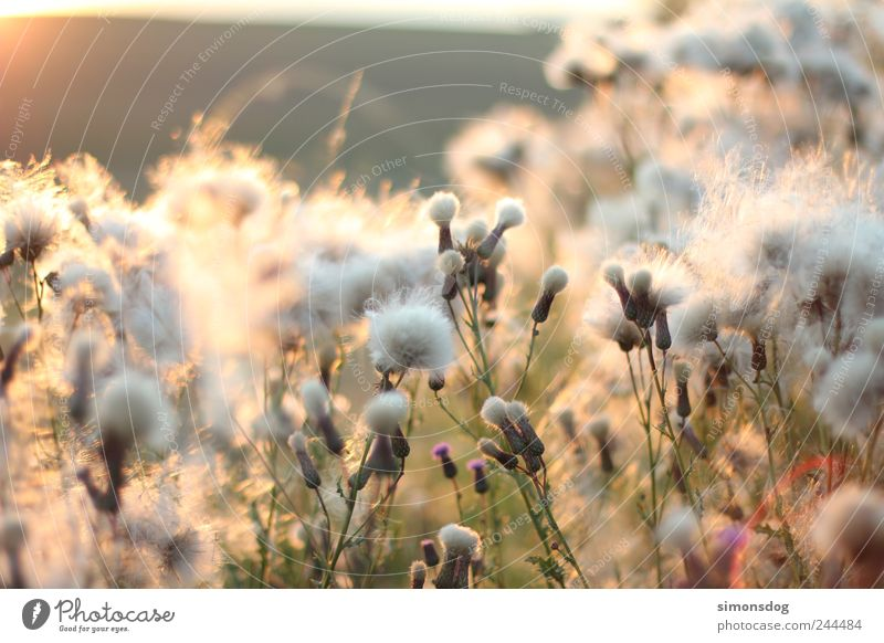 Plant Clouds Calm Relaxation Meadow Grass Blossom Movement Lighting Bushes Soft Warm-heartedness Illuminate Idyll Blossoming Fragrance