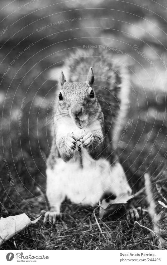. Meadow Park Animal Wild animal Squirrel 1 Feeding Black & white photo Exterior shot Deserted