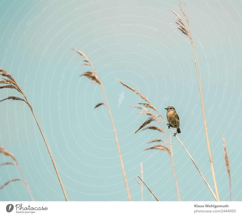 No pipe sparrow Environment Nature Animal Spring Summer Common Reed Meadow Field Bird Blackthroat 1 Observe Sit Curiosity Blue Brown Gray nature conservation