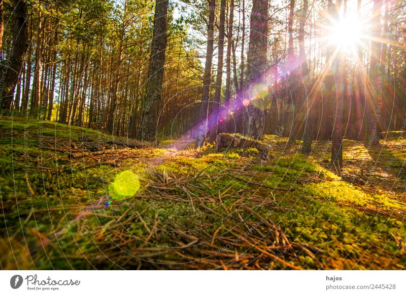 Pine forest against the light Nature Sun Sunlight Spring Tree Moss Forest Beautiful Background picture Back-light Sunbeam Reflection pines Wild Bright