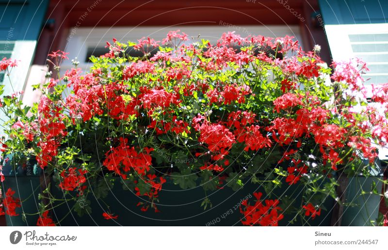 Window with flowers Sunlight Summer Beautiful weather Flower Balcony plant Geranium House (Residential Structure) Blossoming Fragrance Faded Fresh Hot Red