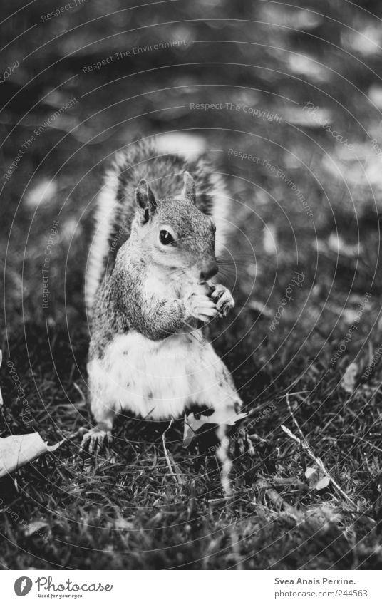 grey squirrels. Park Meadow Animal Wild animal Squirrel 1 Black & white photo Exterior shot Deserted Animal portrait