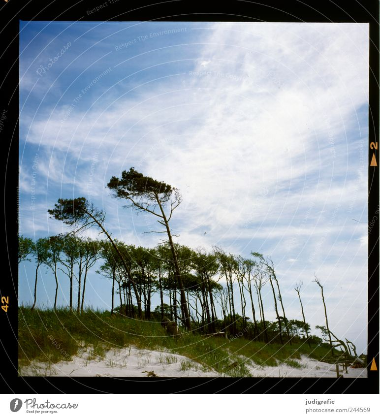 western beach Environment Nature Landscape Plant Sky Clouds Climate Wind Tree Forest Coast Baltic Sea Darss Western Beach Cold Natural Wild Blue Wind cripple