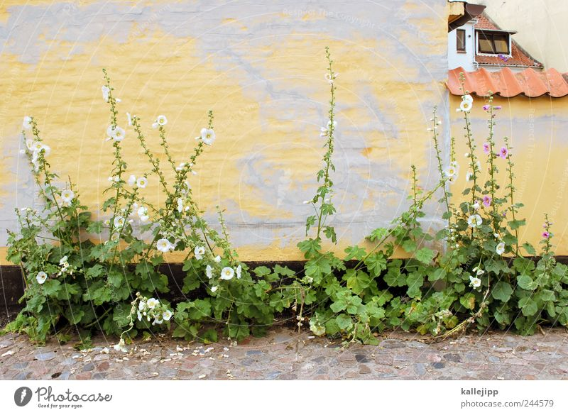 mauerBLÜMCHEN Plant Flower Village Fishing village Old town Wall (barrier) Wall (building) Facade Window Roof Eaves Growth Living or residing Hollyhock