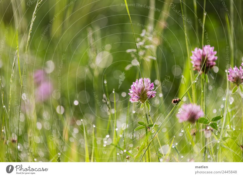 Dew in the morning Nature Plant Water Spring Grass Leaf Meadow Blossoming Clover Damp Drop Fresh Colour photo Exterior shot Close-up Deserted Copy Space left