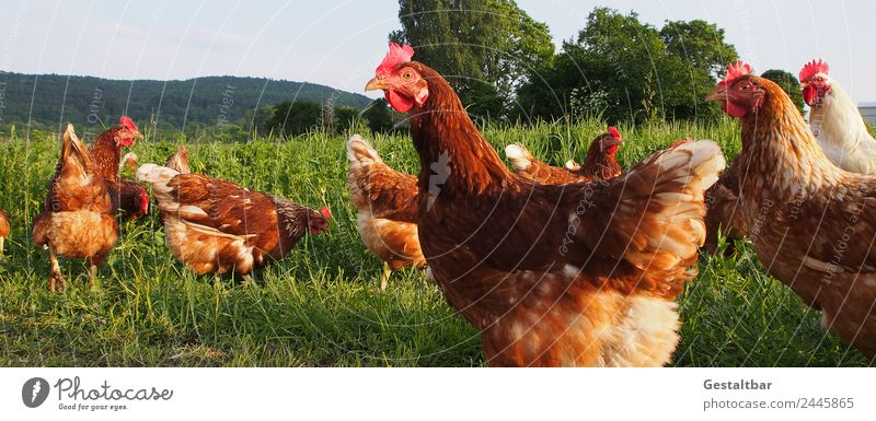Free-range chickens on a green meadow Food Meat Egg Organic produce Healthy Nature Landscape Spring Summer Grass Animal Pet Farm animal Wing Barn fowl