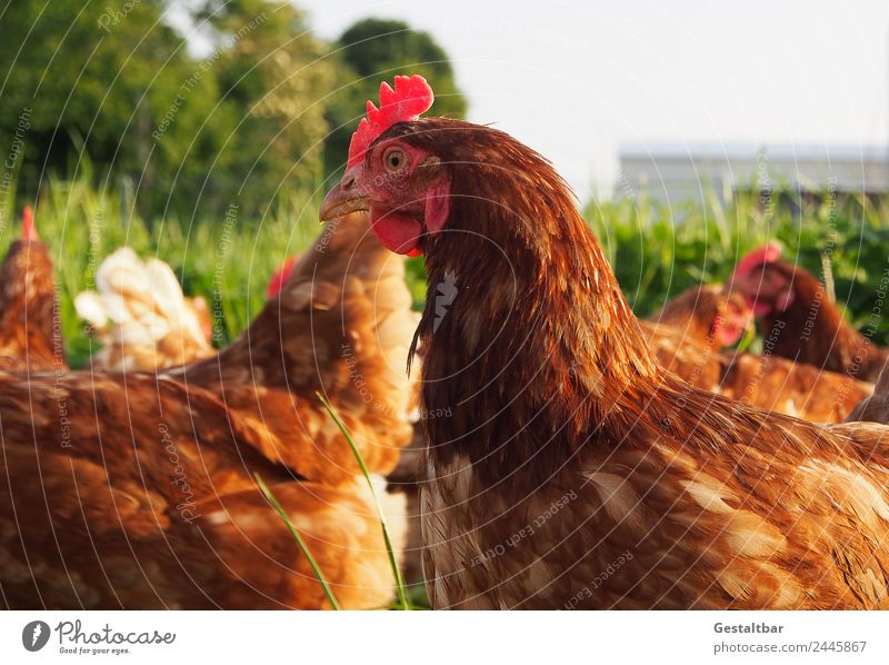 Free-range chickens on a meadow Food Meat Egg Nutrition Organic produce Environment Nature Animal Pet Farm animal Wing Barn fowl Group of animals Observe