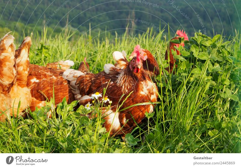 Free-range chickens on a green meadow Food Meat Soup Stew Nature Animal Pet Farm animal Wing Barn fowl Group of animals Observe Healthy Happy Juicy Brown Green