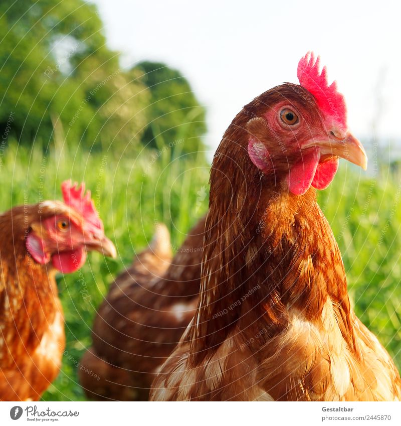 Free-range chickens on a meadow Animal Farm animal Bird Animal face Barn fowl 2 Observe Looking Healthy Happy Natural Brown Green Red Contentment