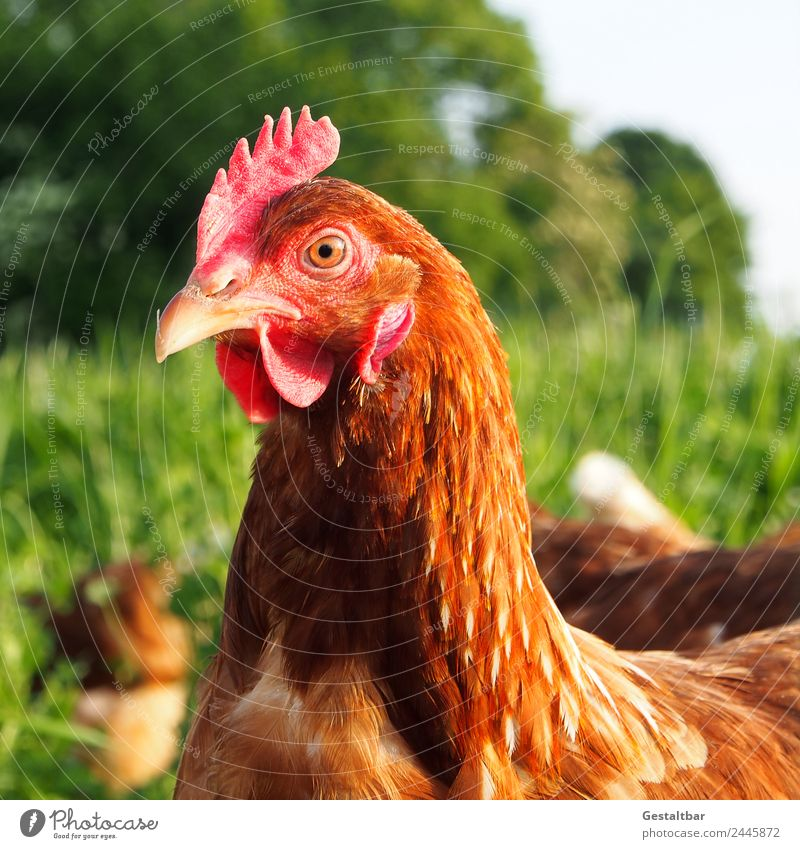 Free-range chicken on a green meadow Food Meat Organic produce Healthy Animal Farm animal Bird 1 Group of animals Observe Looking Happy Love of animals