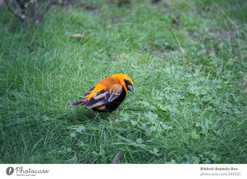 in freedom... or not?! Animal Wild animal Bird Zoo 1 Exotic Meadow Orange Colour photo Exterior shot Close-up Deserted Copy Space left Copy Space right