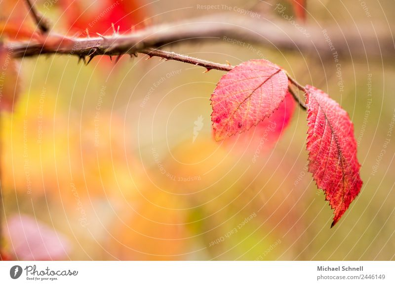 red leaves Environment Nature Plant Autumn Leaf Simple Friendliness Beautiful Natural Red dreamily Colour photo Multicoloured Exterior shot Close-up Detail