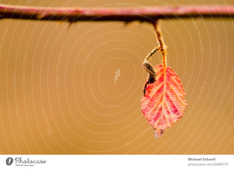 Red leaf Environment Nature Plant Autumn Leaf Hang Simple Natural Power Beautiful Loneliness Calm Exterior shot Close-up Detail Deserted Copy Space left