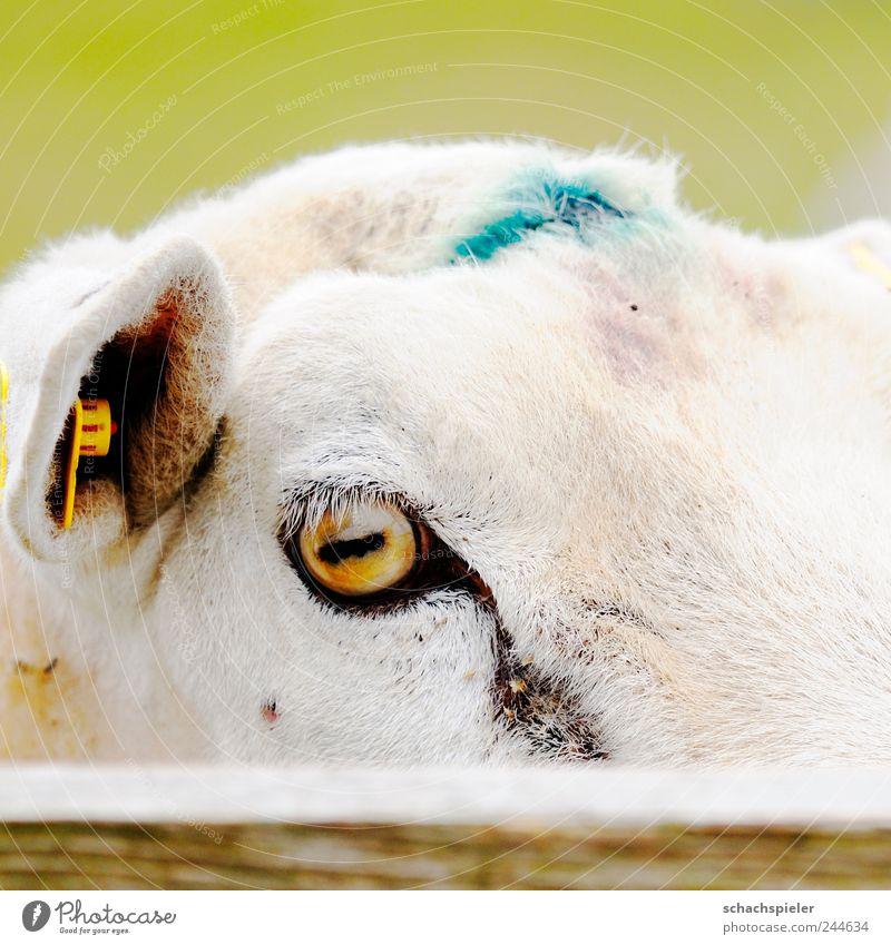 Nature Animal Wood Funny Curiosity Fence Sheep Pet Farm animal Astute