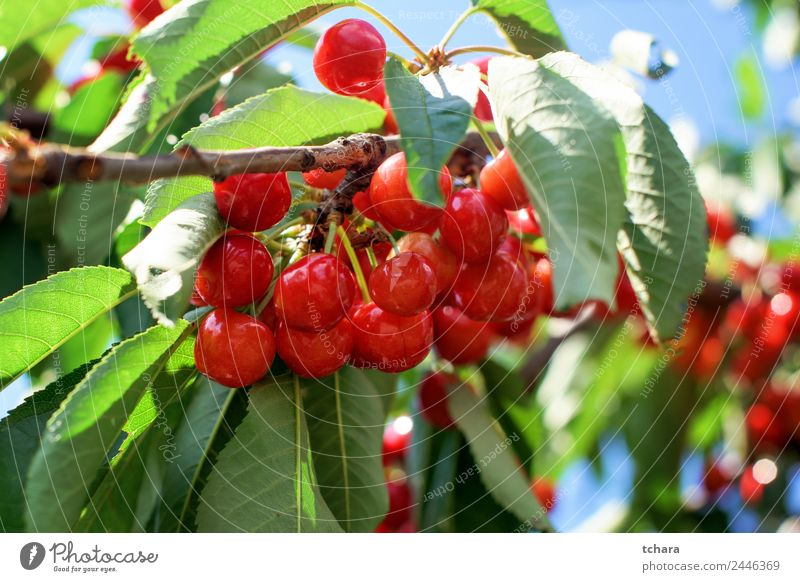 Cherries on a tree Fruit Dessert Eating Beautiful Summer Garden Nature Landscape Plant Climate Tree Leaf Growth Fresh Delicious Juicy Green Red Colour Cherry